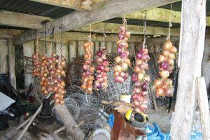 Onions