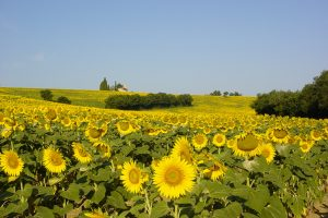 Sunflowers and tabaux